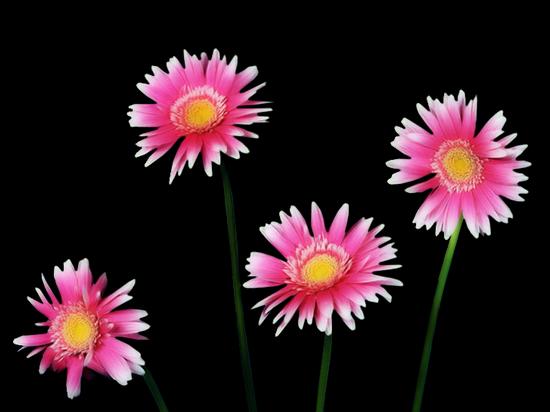 tubes_fleurs_tiram_272