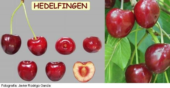 Cerezo Géant d'Hedelfingen, variedad de cereza Hedelfingen, cereza de maduración tardía
