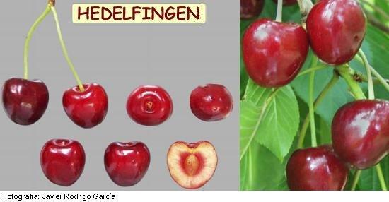 Cerezo Géant d'Hedelfingen, cherry variety Hedelfingen, late ripening cherry, Hedelfingen cherry