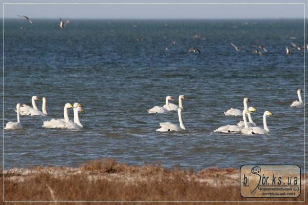Лебеді шипуни та кликуни на зимівлі в Чорноморському біосферному заповіднику
