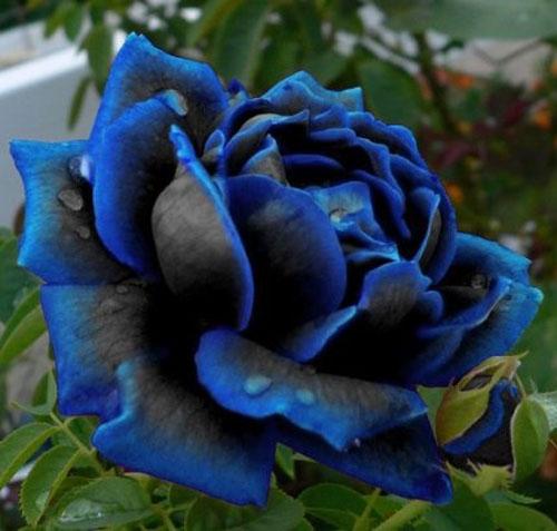 midnight blue rose flower seeds rare garden plant buy 2 get 25