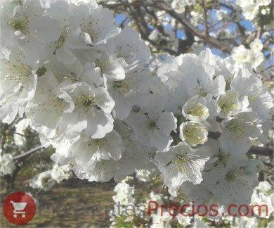 cerezos autofértiles en floración, cerezo en flor, floración cerezo