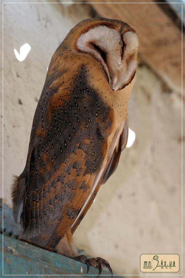 Сипуха Tyto alba