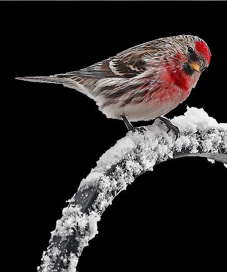 tubes_oiseaux_tiram_117