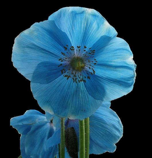 tubes_fleurs_tiram_286
