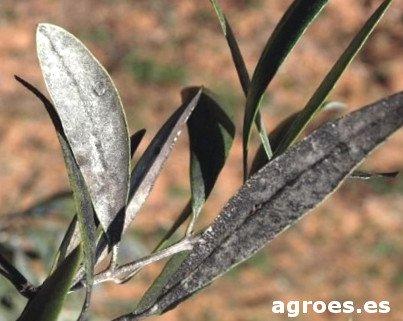 Negrilla del olivo