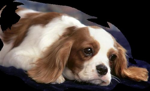 chien_tiram_173