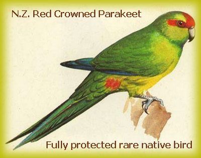 redcrownparakeet