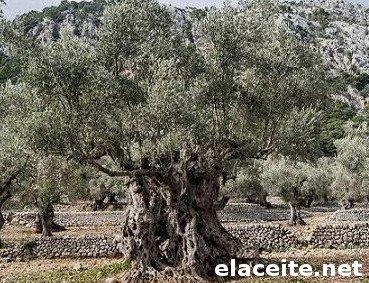 olivo empeltre, olivar centenario