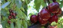 Tipos de cereza: Regina