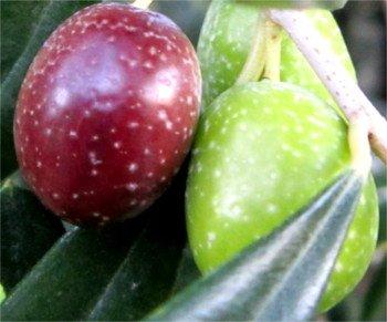 Cerasuola olive