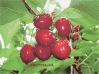 Types of cherry: Cristobalina (Heart of Pigeon-pigeon)