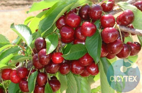 Grace Star Cherry, cherry variety Grace Star, harvest cherry or medium harvest