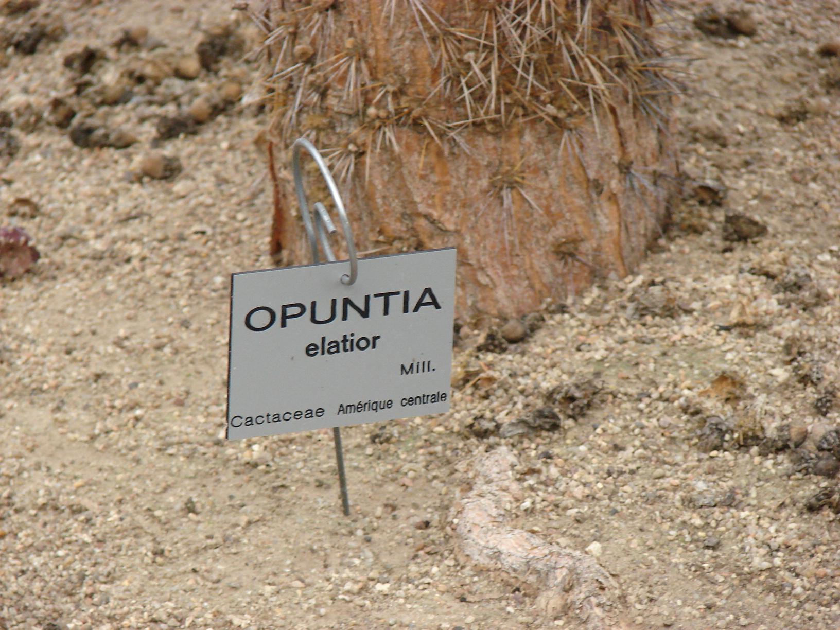 Opuntia elatior Opuntia_elatior_2
