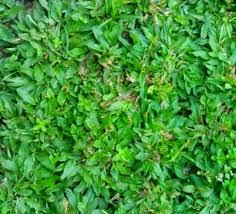 rumput