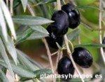 Variety of Moorish Olive, millenary olive trees