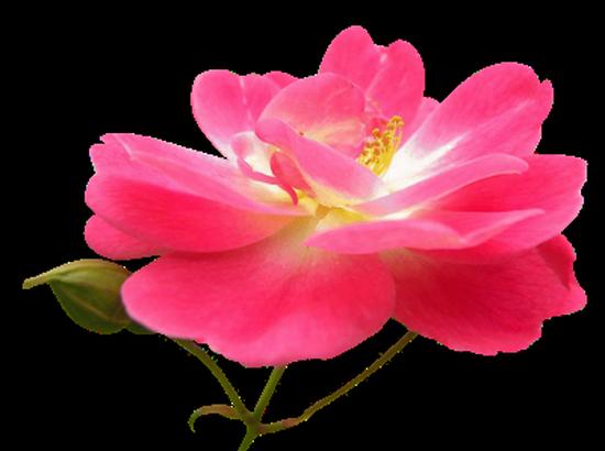 tubes_fleurs_tiram_224