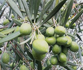 Variety of Semidana olive tree, suitable for hedge
