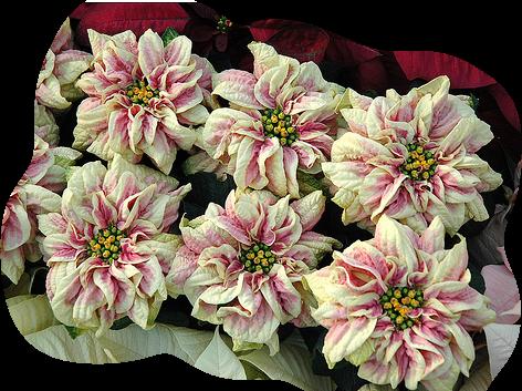 tubes_fleurs_tiram_642