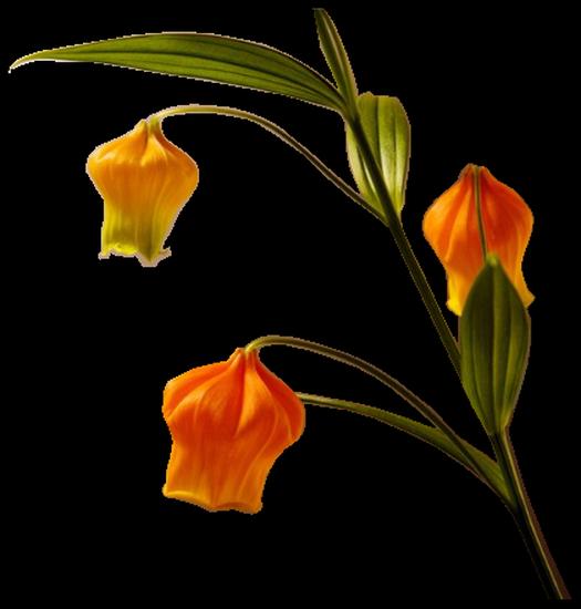 tubes_fleurs_tiram_369