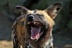 hyena_150px.jpg