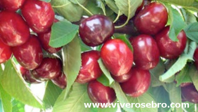 Rocket cherry, cherry variety Rocket, cherry early ripening