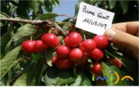 Cherry types: Prime Giant