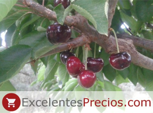 Cristalina Cherry, variety without stem, Cherry tree Cristalina, hard cherry, very good taste and size