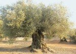 Olivo Farga, centenary olive grove of the Farga variety