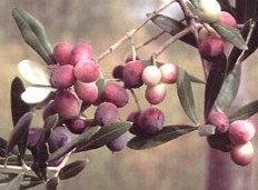 Rosciola Olives, olives Rosciola