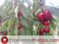 Cherry types: Canada Giant