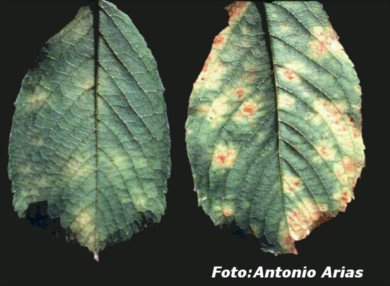 Cherry leaves affected by Gnomonia