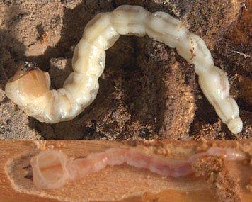 Galerías producidas por la larva de gusano cabezudo (Capnodis tenebrionis), gusano cabezudo, larva gusano cabezudo