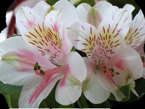 tubes_fleurs_tiram_652