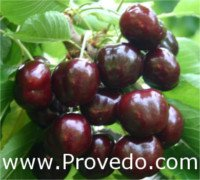Types of cherry: Black Star