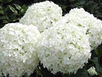 Гортензия древовидная Анабель, Hydrangea arborescens Annabelle
