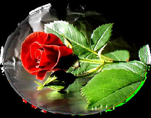 tubes_fleurs_saint_valentin_tiram_86