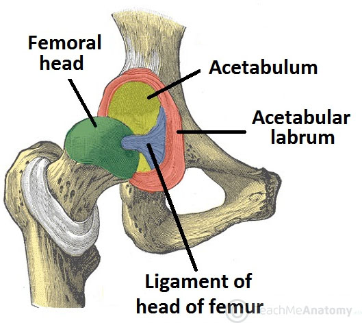 Bony_Surfaces_of_the_Hip_Joint_Head_of_F
