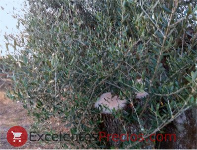 How to Prune an Olive Tree, Pruning of the olive tree, pruning of century-old olive trees, trimming olive trees, cut olive branch