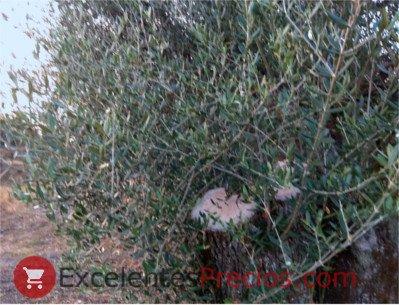 Poda del olivo, poda de renovación de olivos centenarios, rama de olivo cortada