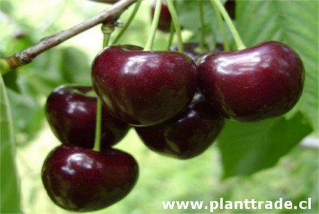 Photo Kordia cherry, variety of cherry Kordia (Attika), late ripening cherry