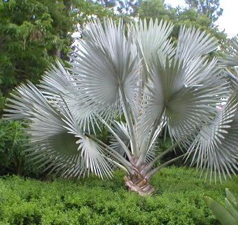 Palm Bismarkia