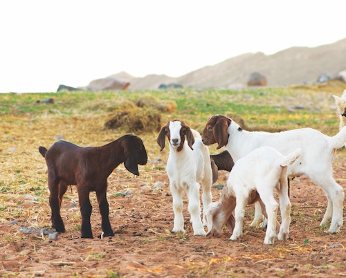 400_goats_graze_freely_in_pastures_between_the_lagoons