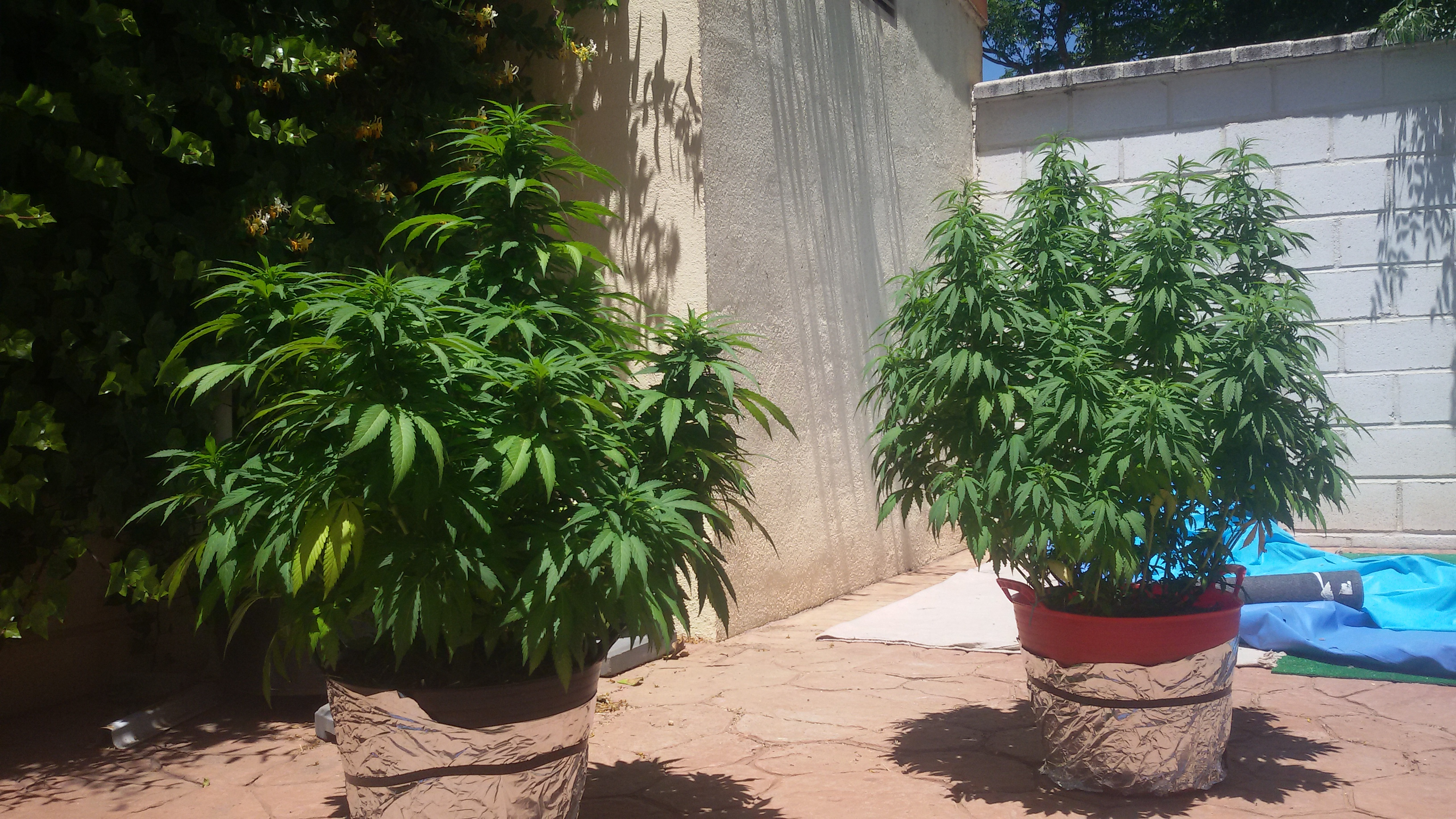 El Brujo a Latigazos ...(Sweet Seeds)+(CannaBooM)(2018) 20180705_143806