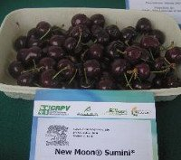 Types of cherry: New Moon