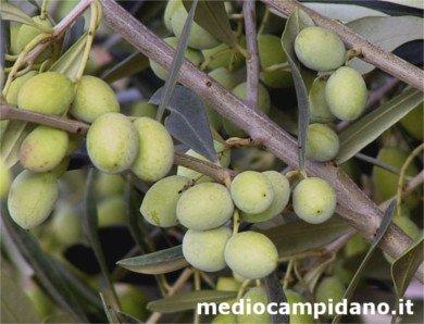 variety of Bosana olives (Olivo Bosana), Italian olive photo, Bosana olive tree