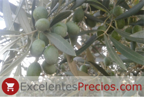Verdial Olive, Verdial de Badajoz, photo olives green