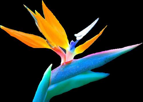 tubes_fleurs_tiram_835