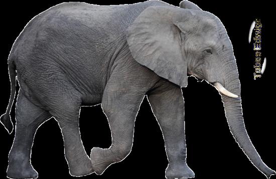 tubes_elephants_tiram_38