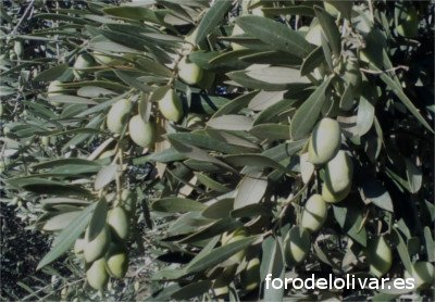 Variedad de olivo Pajarero, aceituna gorda, foto del olivo Pajarero